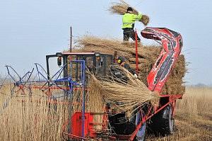 Tagrør vokser overalt i vådområder, fjorde og søer og den væsentligste ingrediens i Naturens eget Tag. Her høstes tagrør på Randers Fjord.